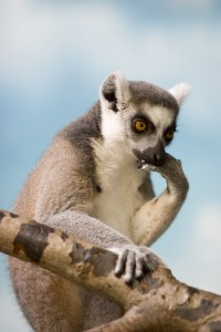 Lemur at Chester Zoo